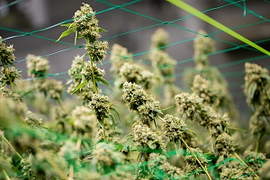 Strongest Cannabis Strains plants being grown outside