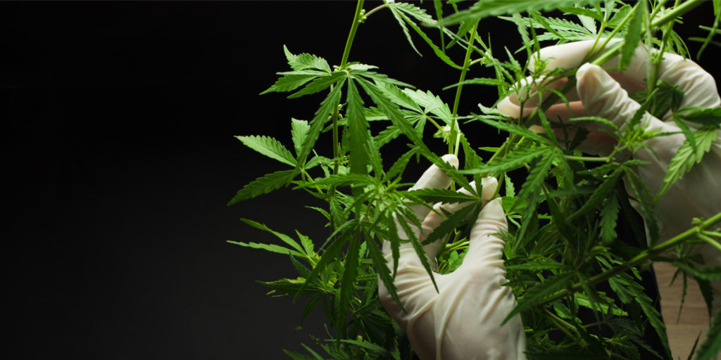 cannabis is plucked before they are put inside edibles