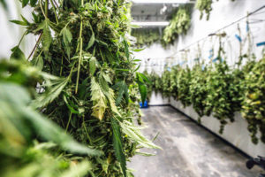 rows of cannabis plants are hunged before they are sold and be used in edibles or other products