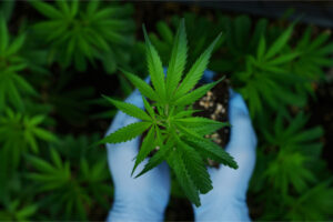 cultivator with blue gloves holds the cannabis flower and soil