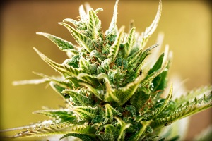 vignette of small marijuana bud with cannabis flower effects